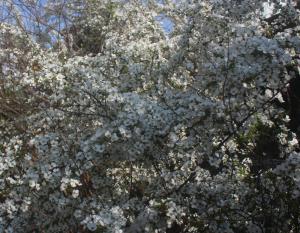 今年も咲いてくれました、ユキヤナギ