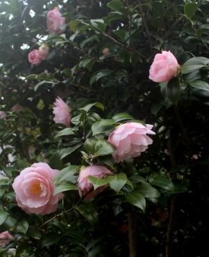 ピンクの椿が今年は咲いた