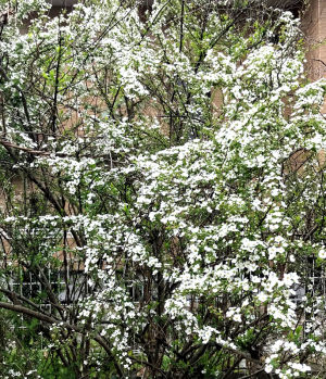ユキヤナギ開花