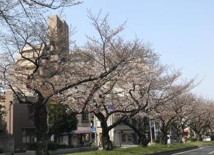 一日見ぬ間の桜