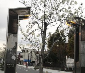 こぶしの花が八幡東区の国際通りに