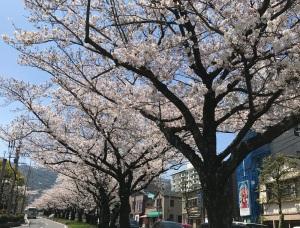 桜は満開なのに・・・