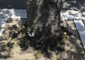 こんな木の根元にも桜の花が咲くの?