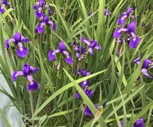 ジャーマンアイリスが咲いている